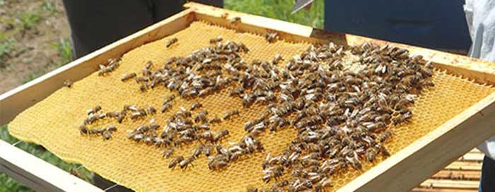 Récolte du miel de nos rûches